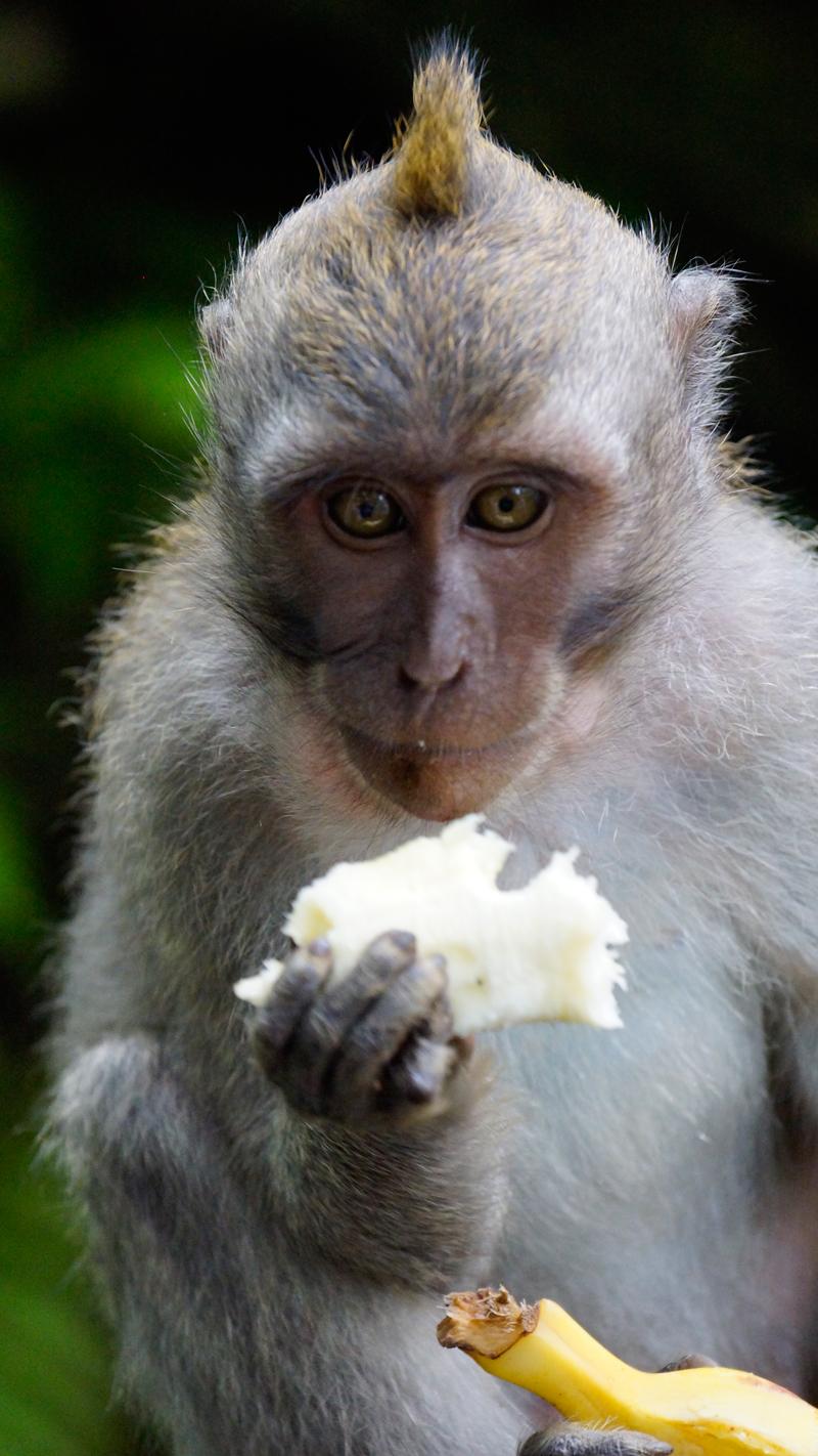 Singapur_Bali_Affe-Banane